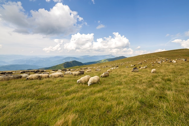 Herd of farm sheep grazing on green mountain pasture. Premium Photo