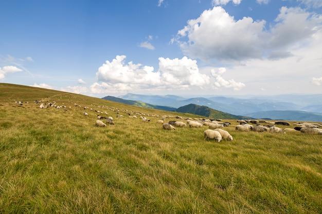 Herd of farm sheep grazing on green mountain pasture. Premium Photo