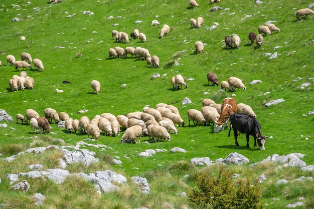 A herd of lambs and cows grazing on a green mountain mea Premium Photo