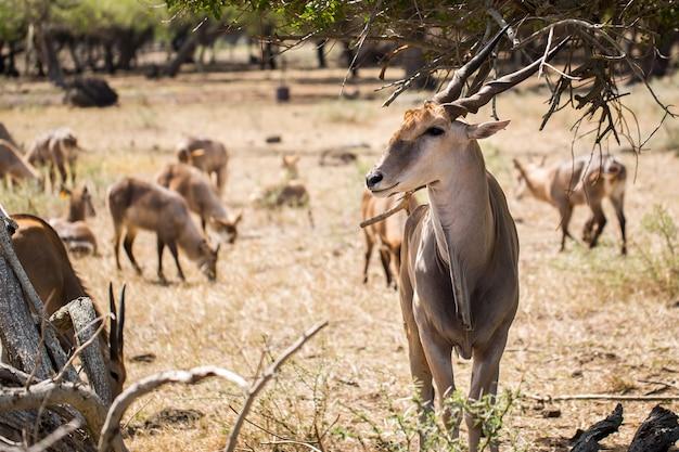 Стадо африканских оленей в дикой природе. маврикий. Premium Фотографии