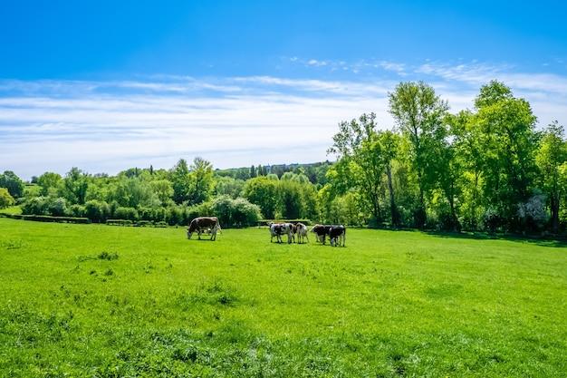 昼間に牧草地で放牧している牛の群れ 無料写真