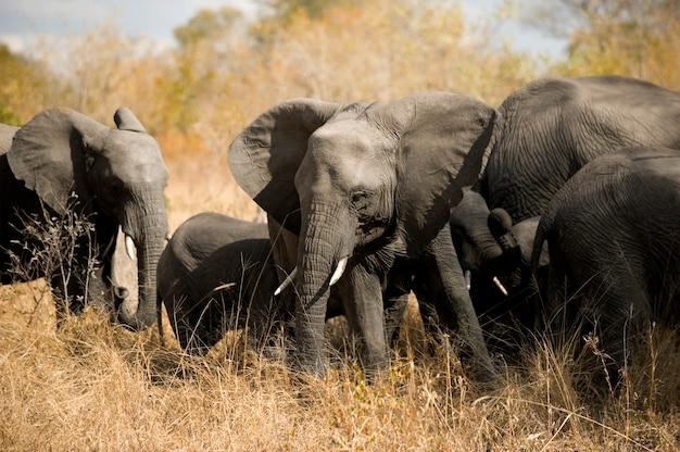 象の群れ-クガー-南アフリカ Premium写真