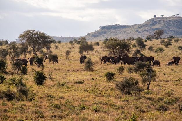 ケニアのタイタヒルズ、ツァボ西のジャングルにある芝生で覆われたフィールドに象の群れ 無料写真