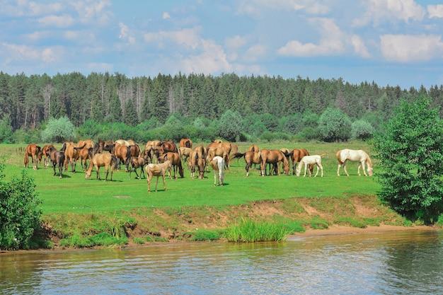 말을 방목하는 무리, 초원에서 말을 방목 프리미엄 사진
