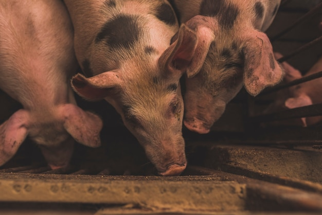 Herd of pigs sitting in cage Free Photo