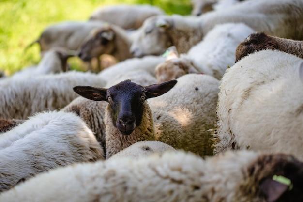 晴れた日に捕獲された草で覆われた野原で放牧している羊の群れ 無料写真
