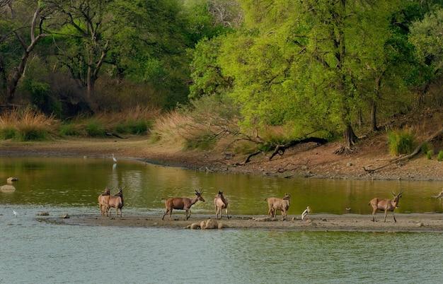 緑に囲まれた湖の真ん中に野生の鹿の群れ 無料写真