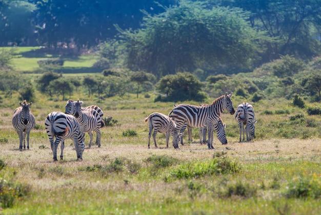 野生のシマウマの群れ 無料写真