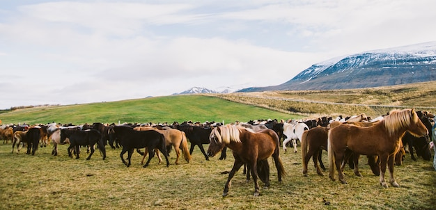 Herd of precious icelandic horses gathered in a farm. Premium Photo