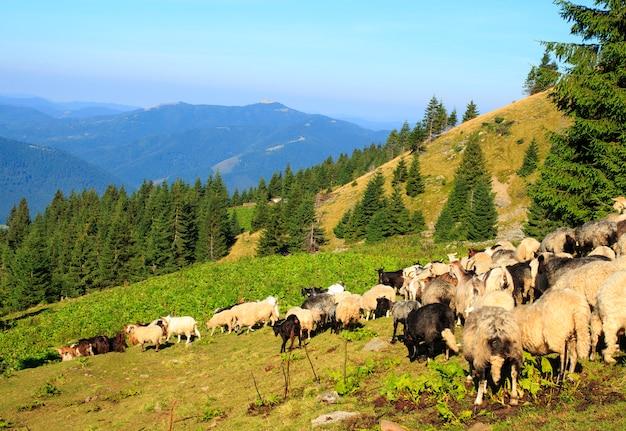 Herd of sheep in the mountains. beautiful mountain cenery, the carpathian mountains Premium Photo
