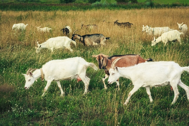 Herd of young goats in the green field Premium Photo