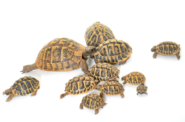 Hermanns tortoise and baby turtles Premium Photo