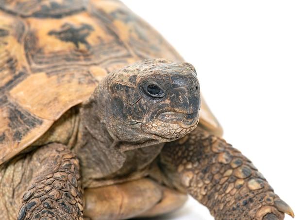 Hermanns tortoise and baby turtles Premium Photo