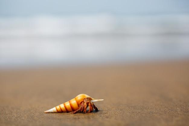 Hermit crab on the beach in varkala Premium Photo
