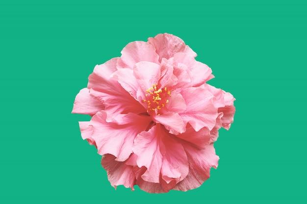 Hibiscus flower with minimal green background. Premium Photo