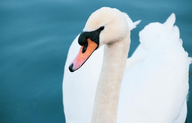 호수에서 수영하는 하얀 백조의 높은 각도 근접 촬영 샷 무료 사진