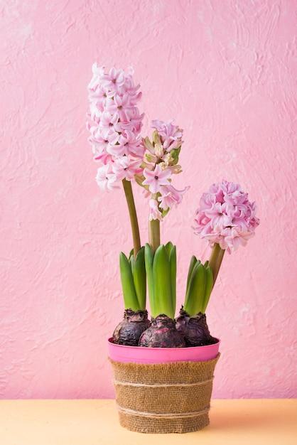 High angle flower pot of hyacinth Free Photo