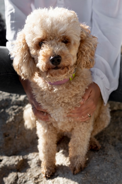 High angle poodle sitting in owner lap Free Photo