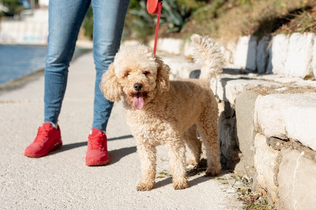 High angle poodle walking with owner Free Photo