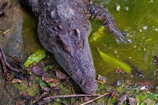 Colpo di alto angolo di un alligatore in un lago sporco nella giungla Foto Gratuite