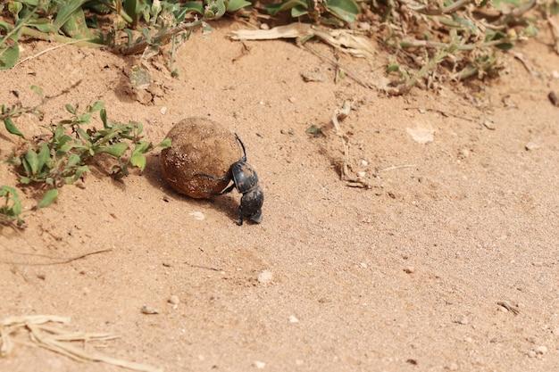Colpo di alto angolo di uno scarabeo stercorario nero che trasporta un pezzo di strada di fango vicino alle piante Foto Gratuite