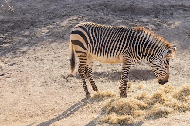 動物園で干し草を食べるシマウマのハイアングルショット 無料写真