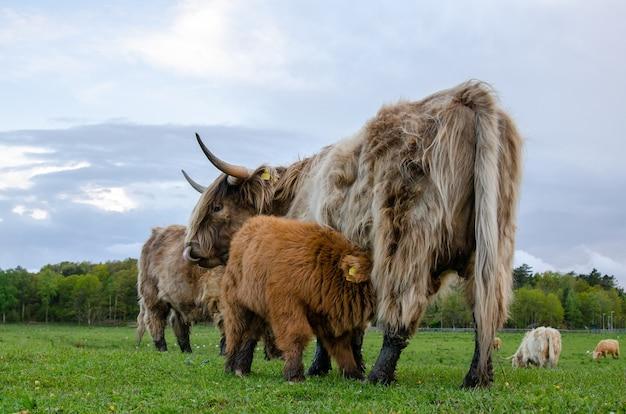 하이랜드 소, 송아지는 어미에게서 우유를 가져옵니다. 녹색 초원, 신선한 풀을 방목. 무료 사진