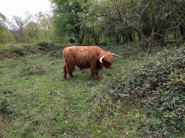 Highland cow nello yorkshire Foto Gratuite