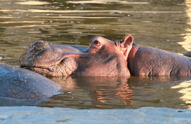 Hippopotamus in the water Premium Photo