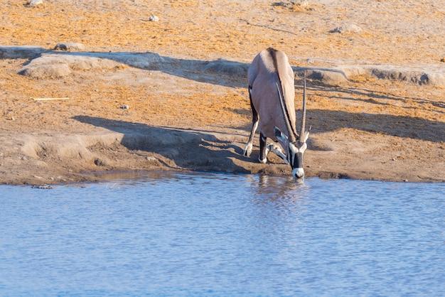 日光の下で滝holeからひざまずいて飲んでいるオリックス。アフリカのナミビアの主要な旅行先であるエトーシャ国立公園の野生動物サファリ。 Premium写真