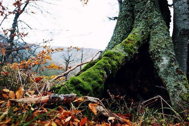 Hollow of tree, covered on moss at autumn forest on mountains. Premium Photo