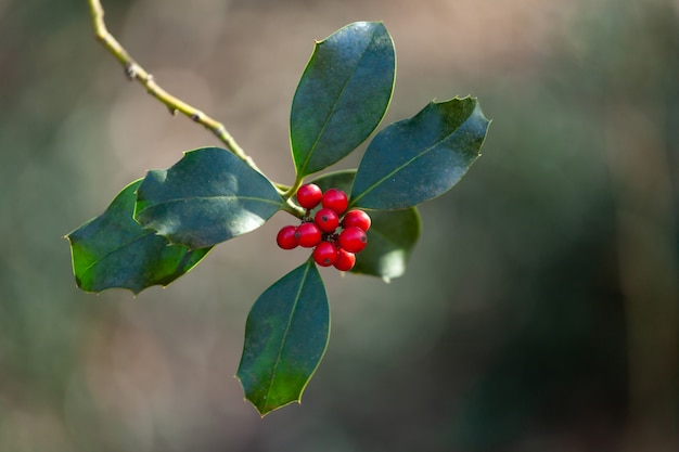 Holly leaves and berries. Premium Photo