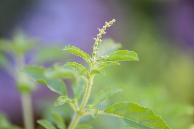 Священный базилик лист природа огород - ocimum sanctum, зеленый душистый базилик в таиланде Premium Фотографии