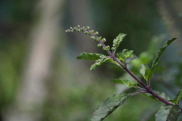 聖バジル(ocimum tenuiflorum)。緑の葉の植物。 Premium写真
