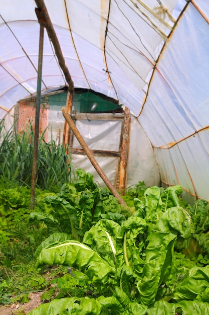Home garden chard vegetables greenhouse Premium Photo