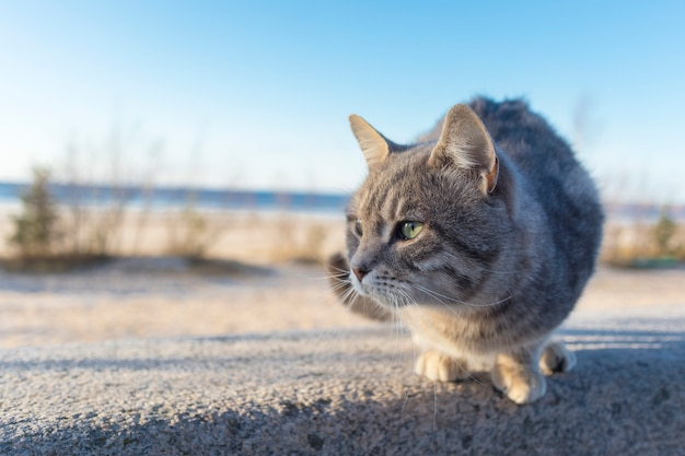 Homeless beautiful cat on the street, on the beach. close up portrait of cute little gray stray kitten in the sunny day. Premium Photo