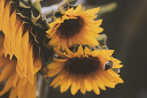 黄色いヒマワリに止まりそうなミツバチ 無料写真