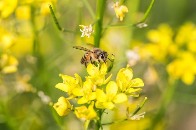 Honey bee collecting pollen on canola flower Premium Photo