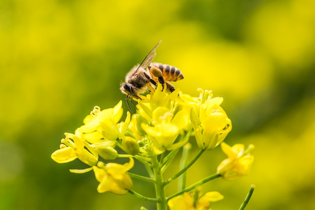 Honey bee collecting pollen on canola flower Premium Photo