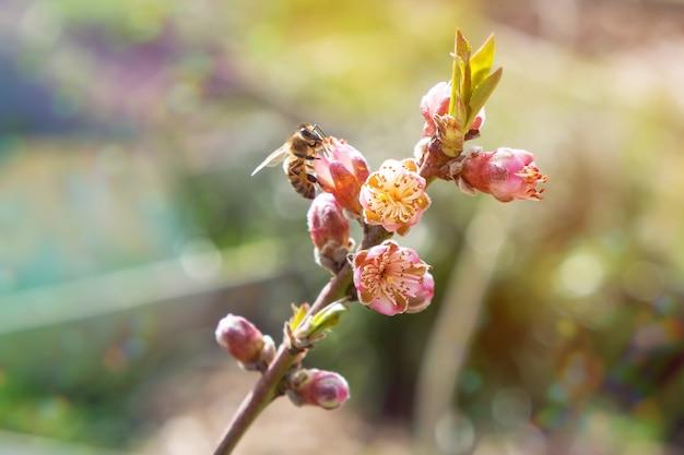 Медоносная пчела собирает пыльцу с цветущего персикового дерева. Бесплатные Фотографии