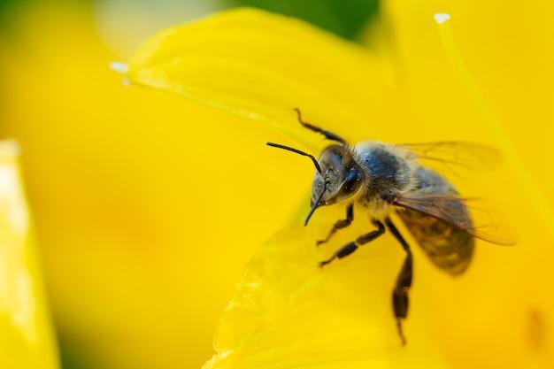 Медоносная пчела собирает пыльцу с цветов. Premium Фотографии