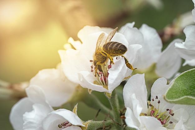 太陽の光の反対側に白い花で春にリンゴの木を受粉するミツバチ、クローズアップ Premium写真