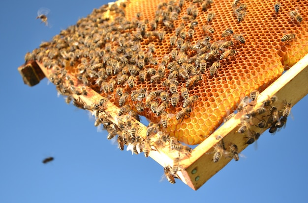 Honey and bees in honeycombs useful delightful dessert Premium Photo
