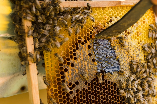 Honeycomb with bees Free Photo