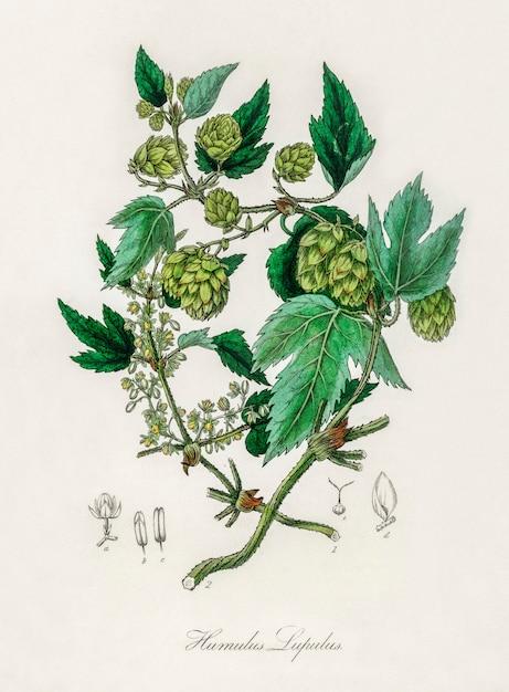 Hop (humulus lupulus) illustration from medical botany (1836) Free Photo