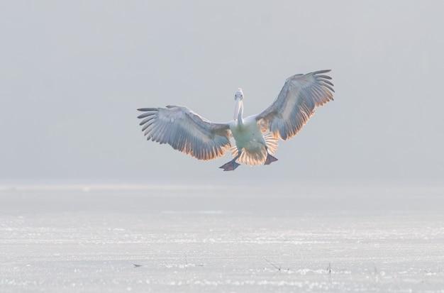 湖の水面を飛んでいる白いペリカンの水平方向のショット 無料写真