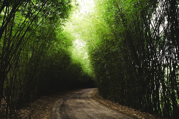 Horizontal shot of a pathway surrounded by tall thin green bamboos Free Photo