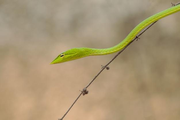 Inquadratura orizzontale di un piccolo serpente verde su un sottile brunch dell'albero Foto Gratuite