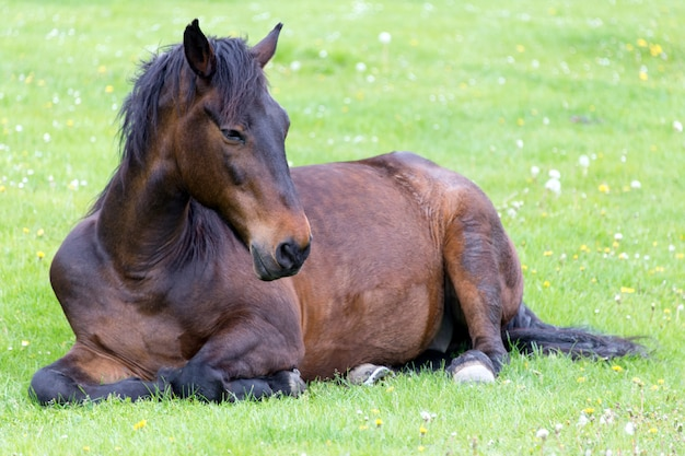 Horse lying on the meadow Premium Photo