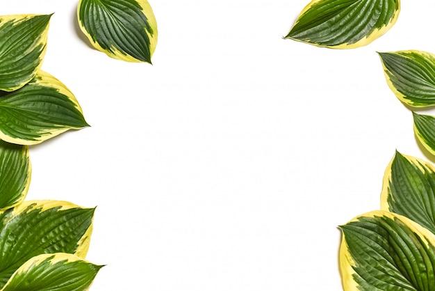 Hosta plantaginea leaves  isolated on white. Premium Photo